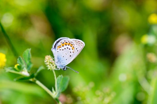 Макрос голубой бабочки карнера (polyommatus icarus).
