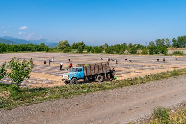 Kartli, georgia - 13.06.2019: people sow seedlings on the field. vegetables growing in the farm garden. agriculture. georgia.