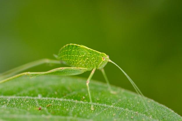 Katydid нимфа кузнечик на зеленый лист