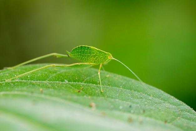 Изображение katydid нимфы кузнечиков (tettigoniidae) на зеленых листьях. насекомое животное
