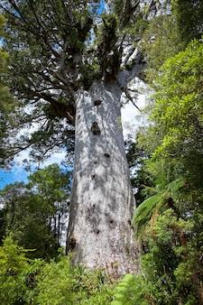 카우리 나무 agathis australis