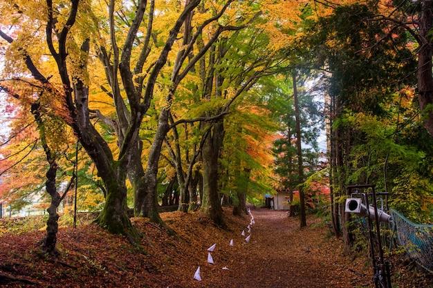 Kawaguchigo maple tunnel at autumn