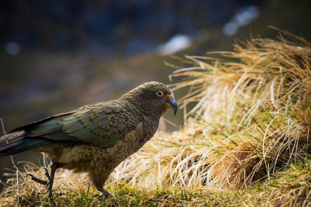 ニュージーランドの南島のキジインコ、キジインコ