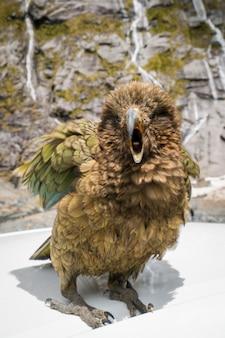 ニュージーランドのケア鳥