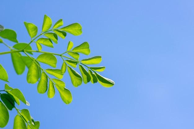 ケラーまたはドラムスティックツリー(moringa oleifera)の緑は、青空を背景に、選択したフォーカスを残します。その植物には一般的な名前があります:西洋わさびの木、ベン油の木またはベンゾライブの木。