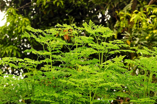 ケラーまたはドラムスティックツリー(moringa oleifera)の緑は、選択されたフォーカスを残します。一般名は、ホースラディッシュツリー、ベンオイルツリーまたはベンゾライブツリーです。
