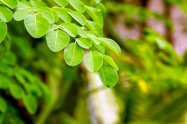 ケラーまたはドラムスティックツリー(moringa oleifera)の緑の葉が選択されたフォーカス