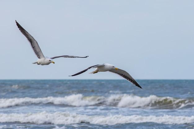 Kelp gulls fishing on the edge of the beach