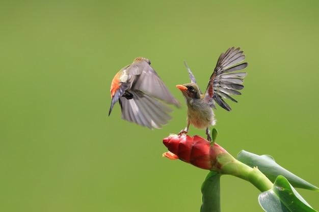 새끼에게 먹이를 주는 kemande 새 dicaeum trochileum