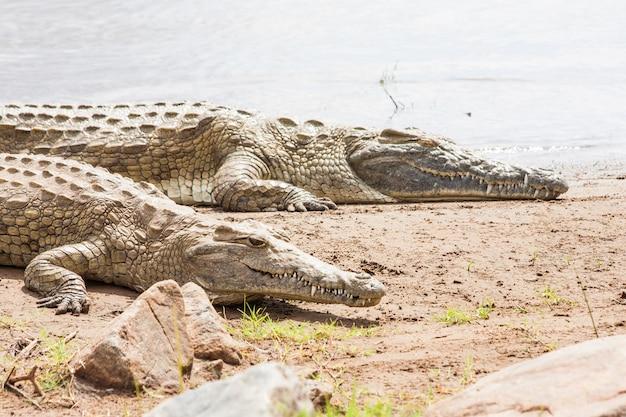 케냐, 차보 이스트 국립공원. 일몰 전에 마지막 태양에 합류하는 악어