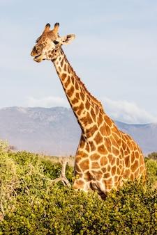 케냐, 차보 이스트 국립공원. 일몰 빛에 무료 기린입니다.