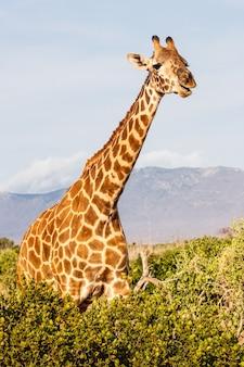ケニア、ツァボイースト国立公園。夕日の光の中で無料のキリン。