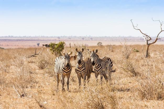 ケニア、ツァボイースト国立公園。写真家に目を向ける3つのシマウマ、夕日の光