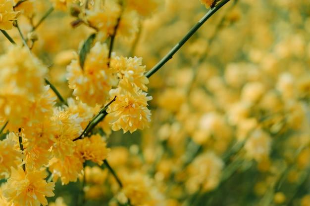 Kerria japonica flower, spring japanesse flowers