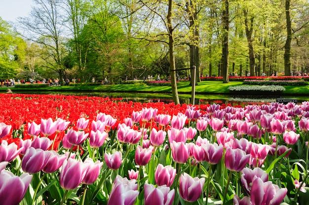 Цветники keukenhof gardens в лиссе, нидерланды