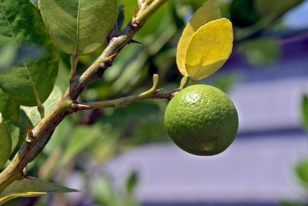 Key lime tree, or limao galego in portuguese