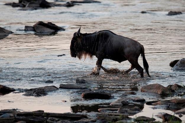 Keynaのワイルドビースト野生動物