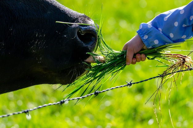Kid feeding a black cow