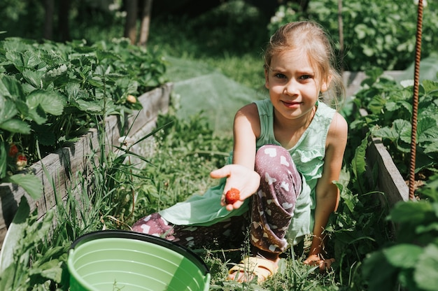 Kid girl picking ripe strawberries in summer season on organic strawberry farm.