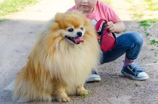 子供の女の子の訓練犬。赤ちゃんはスピッツ服従を教えています。ひもでペットと一緒に歩いている子供。座るコマンドを実行するスピッツ