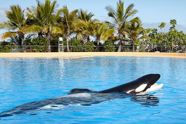 シャチ(orcinus orca)。
