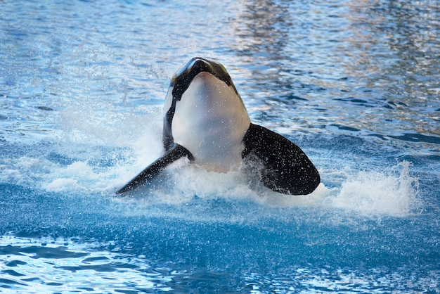 Killer whale splashing on the water