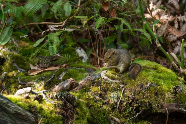 Kinabalu park ground squirrel standing in the jungle with piece of apple