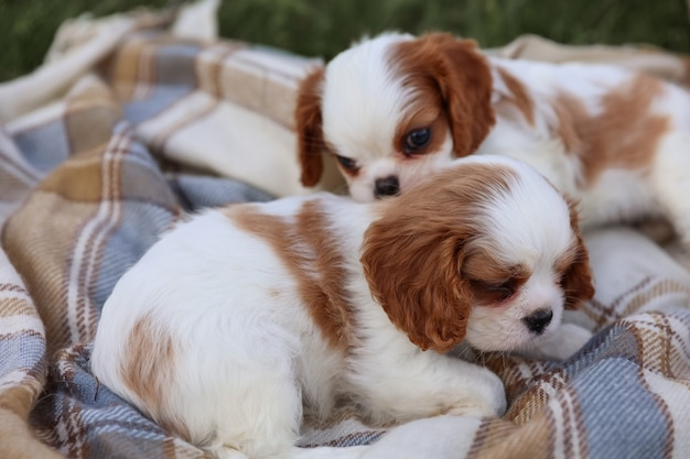 King charles puppies spaniels on a blanket on the grass in the hot summer