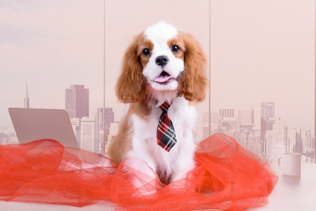 King charles spaniel is an office worker.