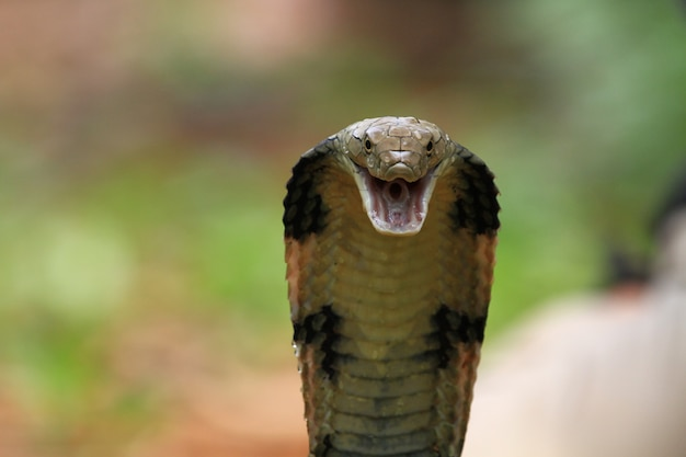 正面から見たキングコブラヘビのクローズアップヘッド