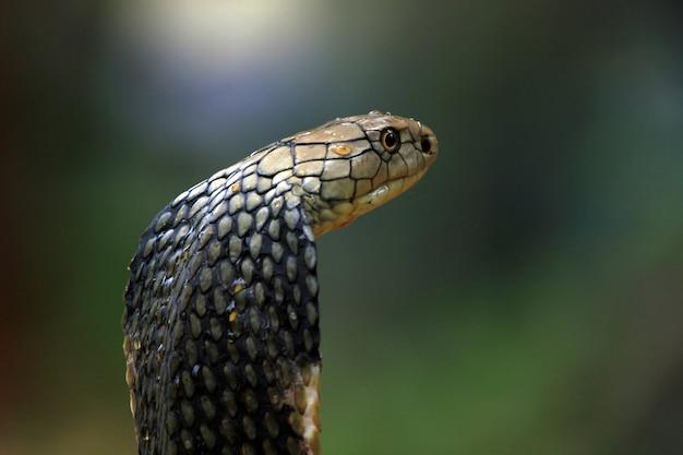 キングコブラヘビのクローズアップ