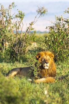 Король африки портрет льва кения африка