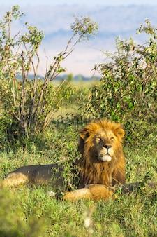 Король масаи мара лев кения африка