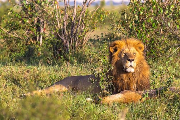 Король масаи мара портрет льва кения африка