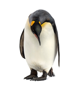 見下ろすキングペンギン、白で隔離