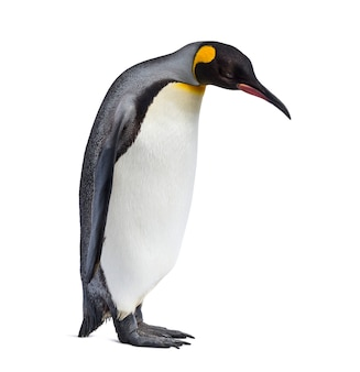 Королевский пингвин стоит перед белой поверхностью