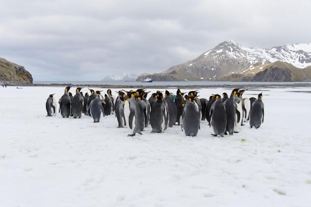 Королевские пингвины в антарктиде на острове южная джорджия