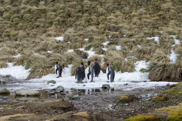 Королевские пингвины в антарктиде