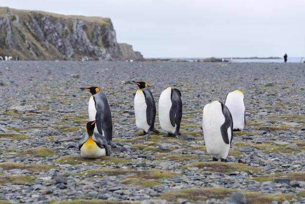 サウスジョージア島のキングペンギン