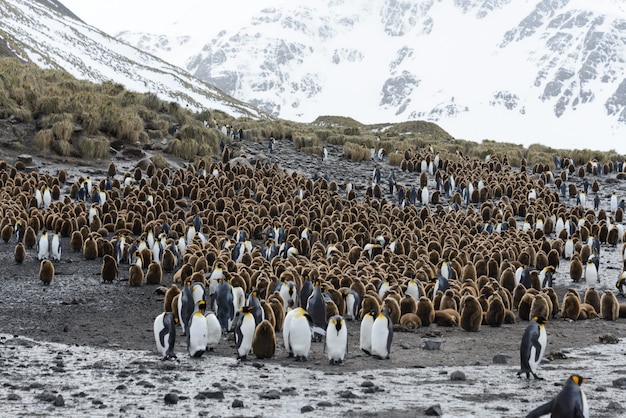 サウスジョージア島のチキンとキングペンギン