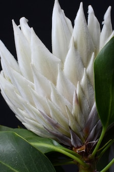 King protea flower bunch  isolated  on a black  background