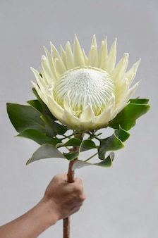 King protea flower bunch on a white isolated background. closeup. for design. nature.