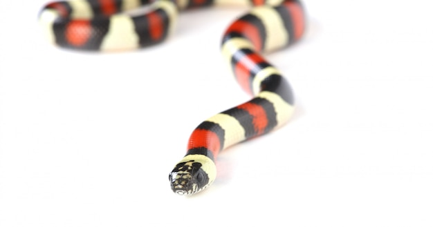 King snake on white