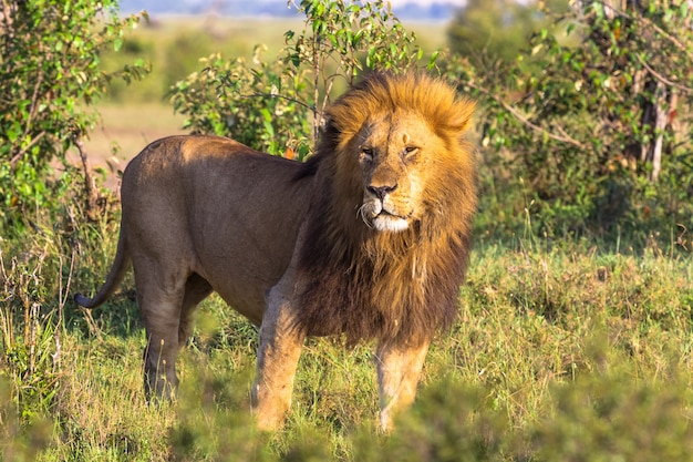 King of wild nature of africa large lion from masai mara kenya