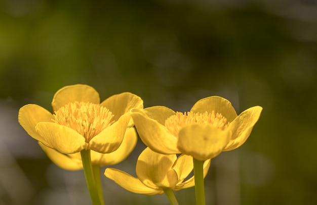 Kingcup или marsh marigold - цветы caltha palustris крупным планом