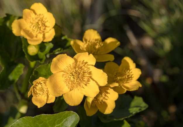 Kingcup или marsh marigold - caltha palustris - полевые цветы