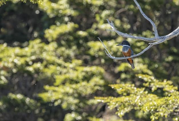 カワセミ鳥が枝に腰掛け
