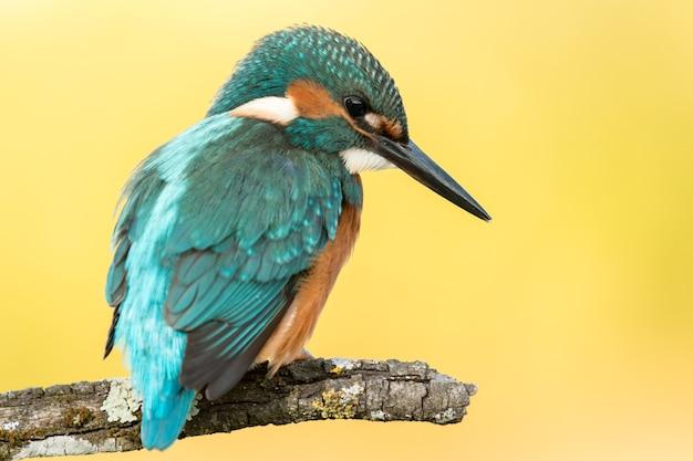Kingfisher bird preening on a branch