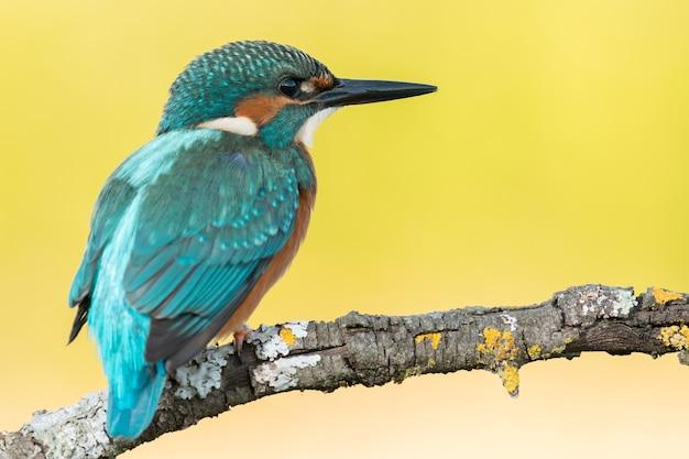 Птица-птица кингфишер на ветке