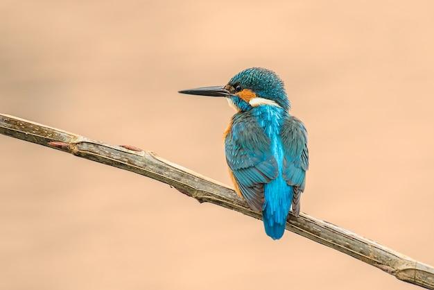 Kingfisher in innkeeper waiting to fish, warm spot